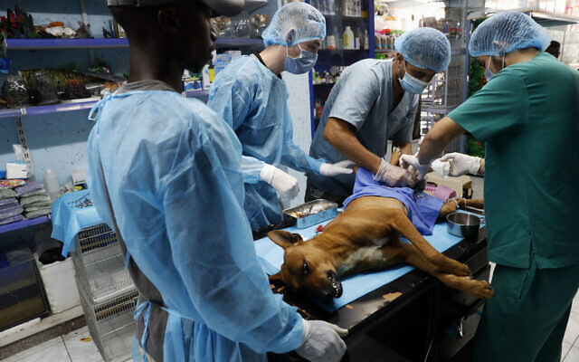 Palestinian veterinarians neuter a dog at a clinic in Gaza City, on July 13, 2020 (AP/Adel Hana)