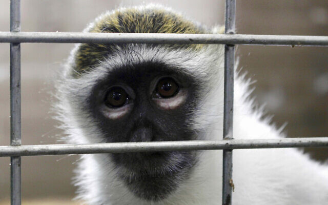A rhesus macaque. (AP Photo/Carrie Antlfinger)