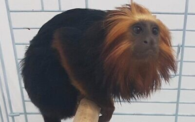 The monkey that was recovered by police several days after being stolen from a zoo in Kiryat Motzkin, in July 2020. (Israel Police)
