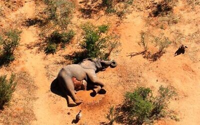In this supplied photo a dead elephant lies in the bush in the Okavango Delta, Botswana, Monday May 25, 2020. Botswana says it is investigating a staggeringly high number of elephant carcasses, with 275 found in the popular Okavango Delta area of the southern African nation in recent weeks.(Photo via AP)