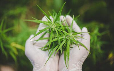 Freshly harvested cannabis (iStock)