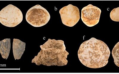 160,000-year-old clam shell fossils from Misliya Cave in Israel's Carmel Mountains (Oz Rittner)