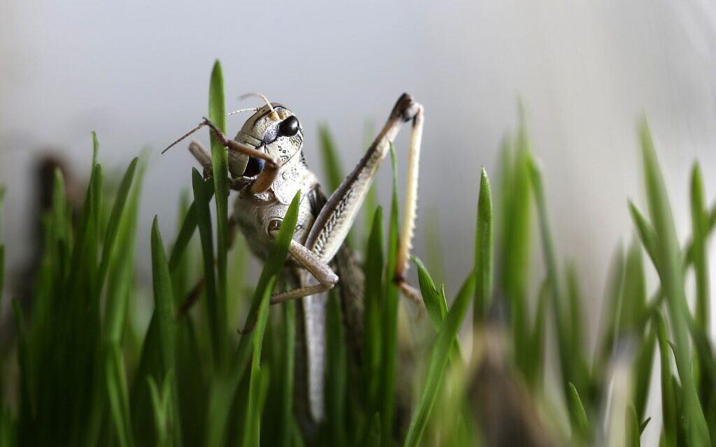 A grasshopper eats wheatgrass at the Hargol grasshoppers breeding farm in Kidmat Tzvi in the Golan Heights on July 12, 2020. (Photo by MENAHEM KAHANA / AFP)