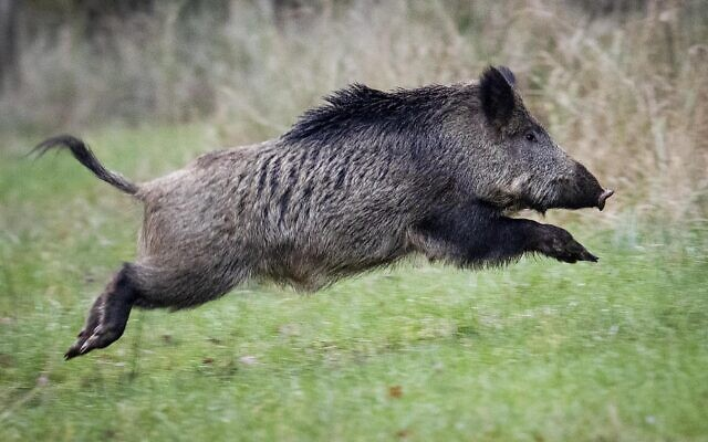 A wild boar runs over a glade in a forest in the Taunus region near Frankfurt, Germany, November 9, 2019. (AP Photo/Michael Probst)