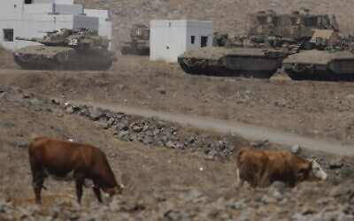 Cows and Israeli military tanks during an exercise in Golan Heights near the border with Syria on August 4, 2020. (AP/Ariel Schalit)