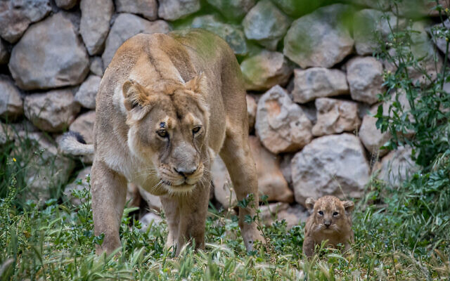 An lioness seen with her 6-weeks-old Asiatic lion cubs, at the Jerusalem Biblical Zoo in Jerusalem on May 6, 2020. (Yonatan Sindel/Flash90)