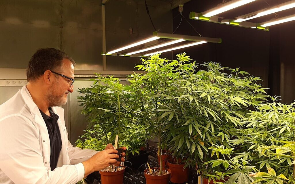 Illustrative: CanBreed CEO and co-founder Ido Margalit at the startup's cannabis R&D site in Givat Chen  (Courtesy)