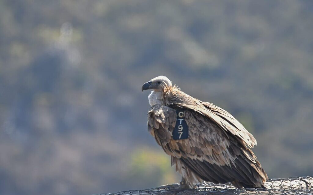 Israel's griffon vulture population reaches eight-year high