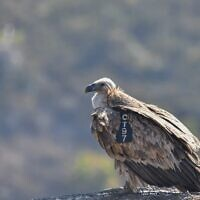 A griffon vulture. (Yosef Avgana, Israel Nature and Parks Authority)