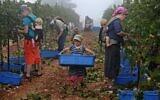 Evangelical Christian volunteers harvest Merlot wine grapes on September 23, 2020, for the Israeli family-run Tura Winery, in the estate's vineyards located at the West Bank settlement of Har Bracha. (Menahem Kahana/AFP)