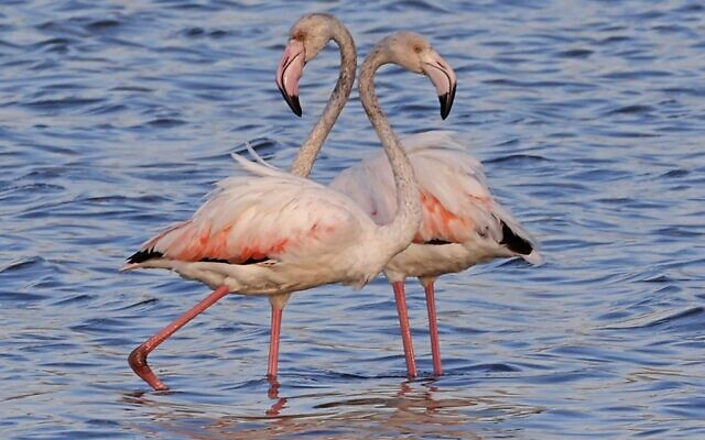 Flamingos (aka Phoenicopterus Roseus) are pictured at a reservoir in Atlit, north of  Tel Aviv on October 13, 2020. (JACK GUEZ / AFP)