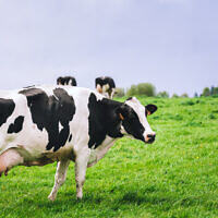 Illustrative image of dairy cows in a meadow (Shigapov; iStock by Getty Images)