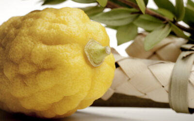 An etrog fruit. (edelmar/Getty Images via JTA)