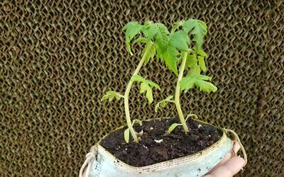 Using old surgical masks as plant pots. (Courtesy, Pablo Chercasky, Director of the KKL-JNF Jewish National Fund's Gilat Tree Nursery in southern Israel)