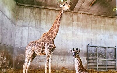 Akia, a 26-year-old giraffe, and her newborn are seen at the Jerusalem Biblical Zoo. (Jerusalem Biblical Zoo)