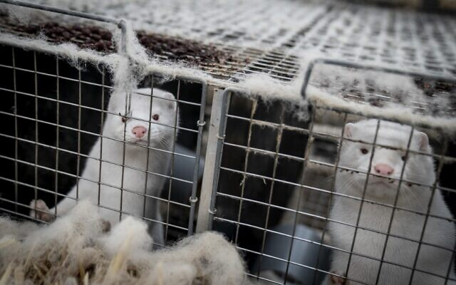 Minks look out from their cage at the farm of Henrik Nordgaard Hansen and Ann-Mona Kulsoe Larsen as they have to kill off their herd, which consists of 3,000 mother mink and their cubs on their farm near Naestved, Denmark, on November 6, 2020. (Mads Claus Rasmussen/Ritzau Scanpix/AFP)