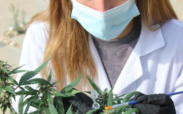 Israeli startup CanBreed has used gene editing technology make the cannabis plant resistant to powdery mildew, a fungus that can be deadly for the plant (Courtesy).