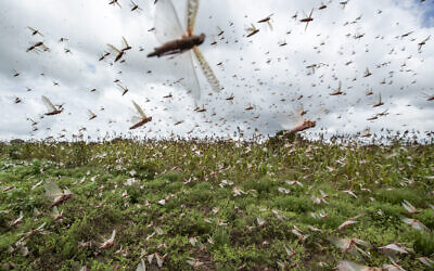 Illustrative: Swarms of desert locusts fly up into the air from crops in Katitika village, Kitui county, Kenya January 24, 2020. (AP Photo/Ben Curtis)