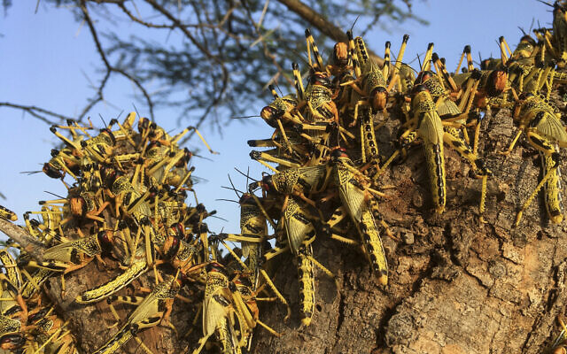 Illustrative: Locusts swarm on a tree south of Lodwar town in Turkana county, northern Kenya June 23, 2020. (AP Photo/Boris Polo)