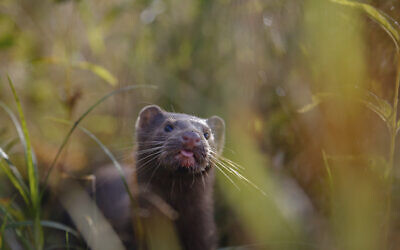 Illustrative: A mink sniffs the air as he surveys the river beach in search of food, in meadow near the village of Khatenchitsy, northwest of Minsk, Belarus, September 4, 2015. (Sergei Grits/AP)