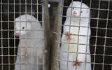 Minks look out of a cage at a fur farm in the village of Litusovo, northeast of Minsk, Belarus, December 6, 2012. (AP/Sergei Grits)