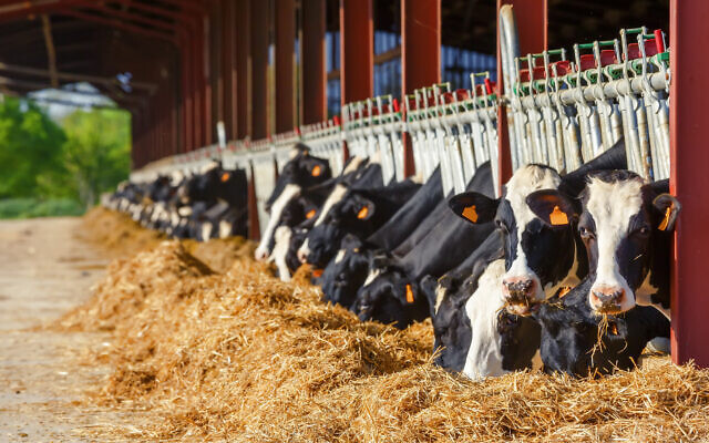 Illustrative picture of Holstein cows eating in a milk production farm (pixinoo; iStock by Getty Images)