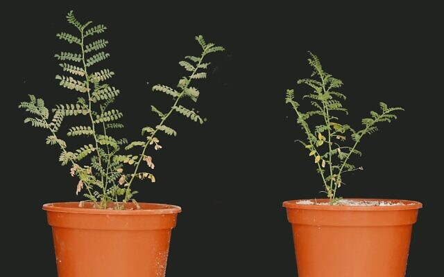 Phosphorus-starved chickpea plant dusted with phosphorus (left) shows more growth than control.  (Sudeep Tiwari, Yonatan Weizman, Volcani Agricultural Research Organization)