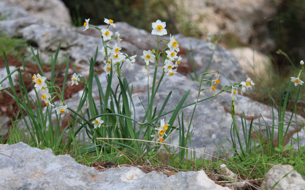 Daffodils in the Ayalon Canada Park, also home to cyclamen, crocuses and a variety of trees. (Shmuel Bar-Am)