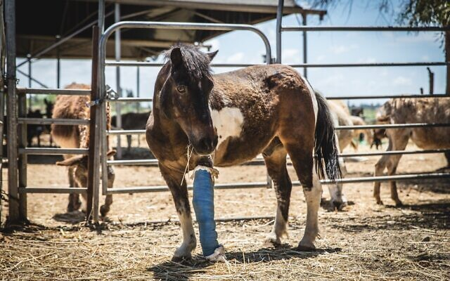 An injured horse at the Starting Over animal sanctuary in Moshav Herut, central Israel. (Revital Topiol)