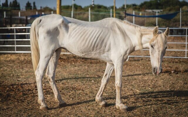 A half starved horse rescued by the Starting Over animal sanctuary in Moshav Herut, central Israel. (Revital Topiol)