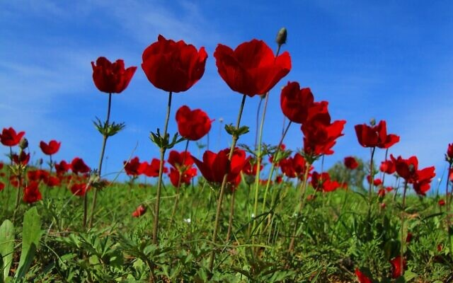 A field of anemones in Israel's northern Negev region, home to the annual Darom Adom festival, taking place February 2021 (Courtesy Darom Adom)