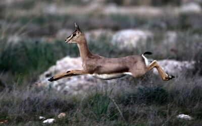 A mountain gazelle runs on a hill next to a forest in the suburb of Jerusalem on January 12, 2021. - Israel is one of the last places where the endangered mountain gazelle roams in the wild but, as development shrinks their natural savannah habitat, ecologists are studying if they can also thrive in forests. Wildlife experts hope their population can recover in woodlands like the Forest of the Martyrs west of Jerusalem, where six million trees were planted after World War II, reflecting the number of Jews killed in the Holocaust. (Photo by MENAHEM KAHANA / AFP)