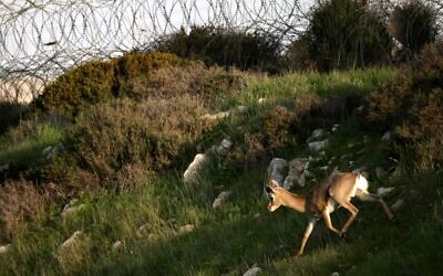A mountain gazelle runs in front of a barbed wire fence near a populoated area on a hill next to a forest in the suburb of Jerusalem on January 12, 2021. (MENAHEM KAHANA / AFP)