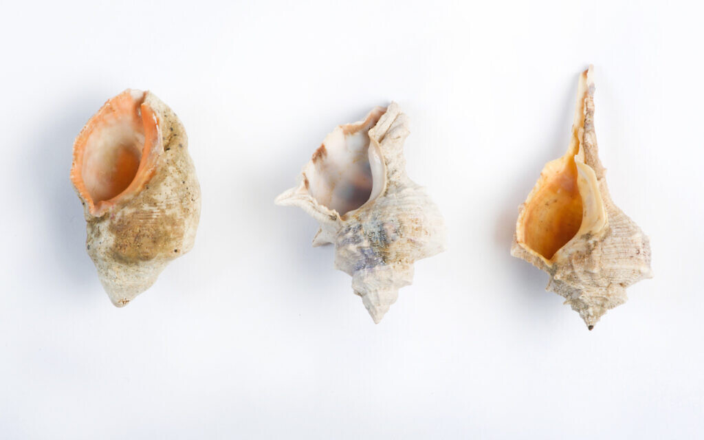 Species of murex found on Israeli coasts (right to left): Spiny Dye-Murex (Murex brandaris); Banded Dye-Murex (Murex trunculus), and Red-Mouthed Rock-shell (Murex haemastoma) (Shachar Cohen, courtesy of Zohar Amar)