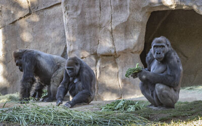 Members of the gorilla troop at the San Diego Zoo Safari Park in Escondido, California are seen in their habitat on January 10, 2021 (Ken Bohn/San Diego Zoo Safari Park via AP)
