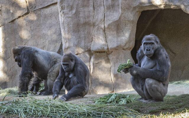 Members of the gorilla troop at the San Diego Zoo Safari Park in Escondido, California are seen in their habitat on January 10, 2021 (Ken Bohn/San Diego Zoo Safari Park via AP)