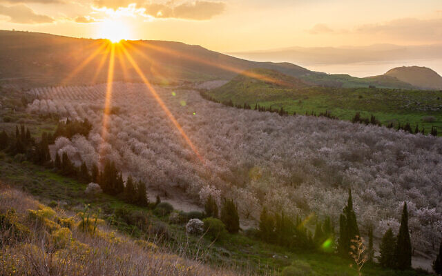 View of the blossoming almond trees in the Golan Heights on February 11, 2019. Maor Kinsbursky/Flash90)