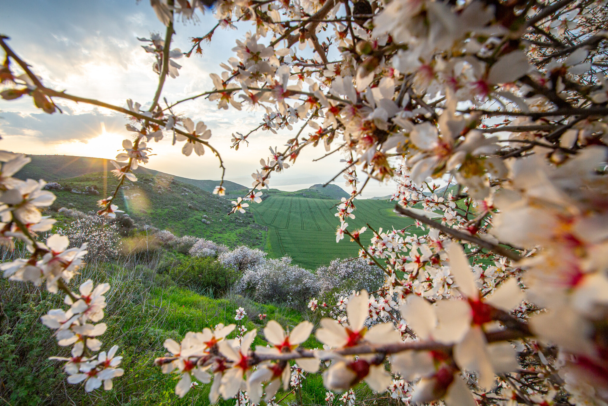 Almond trees blossom in the Golan Heights, on February 27, 2020. (Maor Kinsbursky/Flash90)
