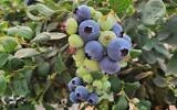 Israeli blueberries grown in carefully tended containers in the Golan Heights will now be marketed from 2021 in Israel, Dubai and Europe Courtesy Carmel Berry)