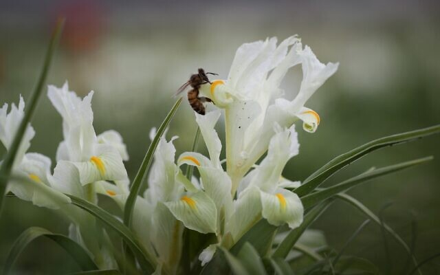 A bee sits on an iris flower near the town of  Zichron Yaakov in northern Israel, February 4, 2017. (Nati Shohat/FLASH90)