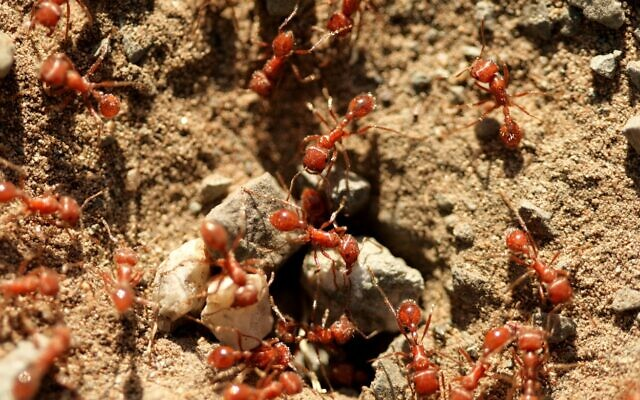 Fire ants. (Cabezonication, at iStock by Getty Images)