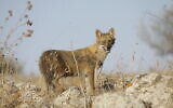 A golden jackal. (Ido Shaked, Israel Nature and Parks Authority)