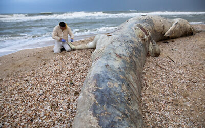 Danny Morick, marine veterinarian, takes samples from a 17 meters (about 55 feet) long dead fin whale washed up on a beach in Nitzanim Reserve, Israel, Friday, Feb. 19, 2021. Aviad Scheinin of the Morris Kahn Marine Research Station said samples from the animal will be taken to try to determine a cause of death, officials said the water nearby is polluted, including with tar. (AP Photo/Ariel Schalit)