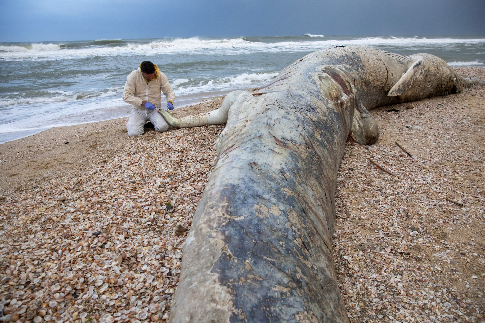 17-meter young whale found dead on beach in south Israel amid possible tar  spill