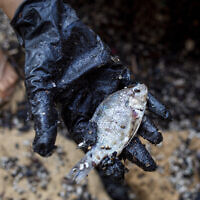 A woman holds a dead fish after she cleaned it from tar from an oil spill in the Mediterranean sea in Gador nature reserve near Hadera, Israel, Saturday, Feb. 20, 2021. (AP Photo/Ariel Schalit)
