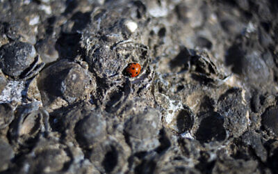 A ladybug rests on tar-covered rocks and shells after an oil spill in the Mediterranean Sea, at Tel-Dor Nature Reserve in Nahsholim, Israel; Tuesday, Feb. 23, 2021. A disastrous oil spill has blackened most of the country's shoreline and reached beaches of neighboring Lebanon. The cleanup is expected to take months. (AP Photo/Ariel Schalit)