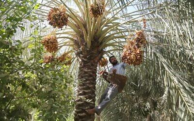 Illustrative: An Iraqi farmer collects dates in Baghdad, Iraq, Thursday, Aug. 18, 2016.. (AP Photo/Karim Kadim)