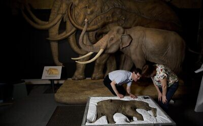Illustrative: Researchers with a baby woolly mammoth discovered frozen in clay and mud in Russia's Yamal Peninsula of Siberia and considered to be the most complete example of the species ever found, at the Natural History Museum in London, May 19, 2014. (AP Photo/Matt Dunham)