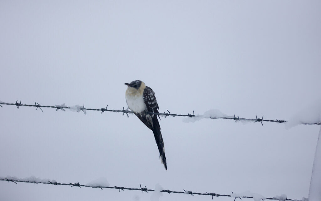 A bird sits on barbed wire after heavy snow in the Northern Golan Heights, on February 18, 2021 (Maor Kinsbursky/Flash90)