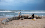 Danny Morick, marine veterinarian, and Aviad Scheinin take samples from a 17-meter dead fin whale washed up on a beach in Nitzanim Reserve, Feb. 19, 2021. (AP Photo/Ariel Schalit)